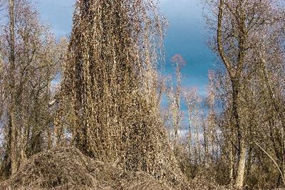 酸性雨で枯れた木
